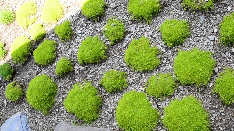 Karmnik ościsty – alternatywa dla przydomowego trawnika?