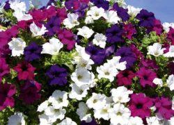 Surfinia – poznaj piękne kwiaty na taras i balkon