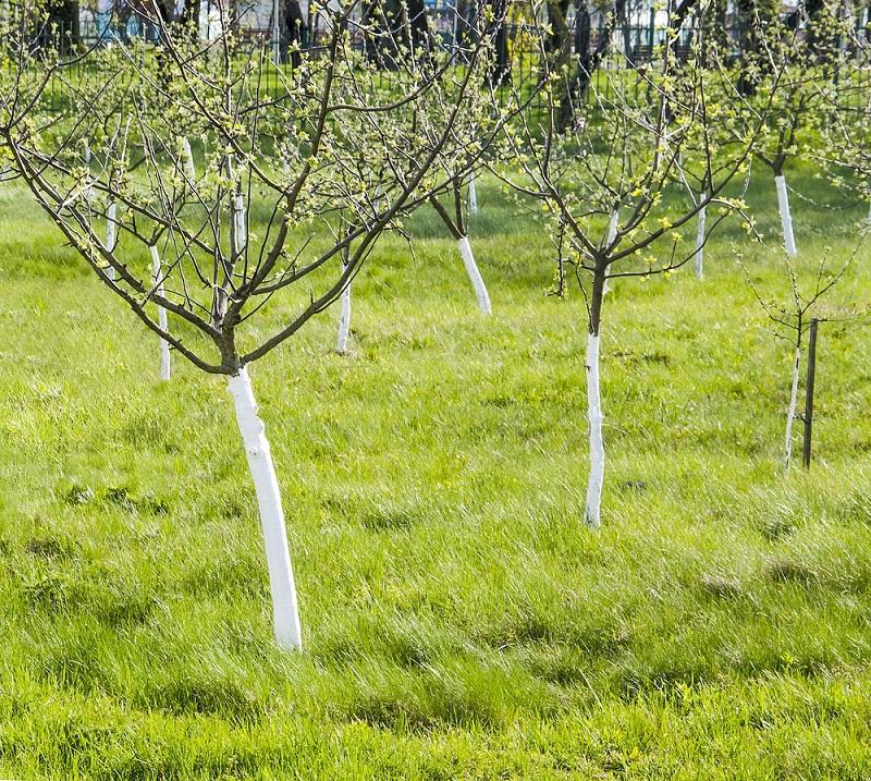 bielenie drzew 2