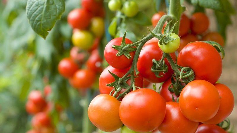 Chcesz uprawiać pomidory? Poznaj podstawowe zasady