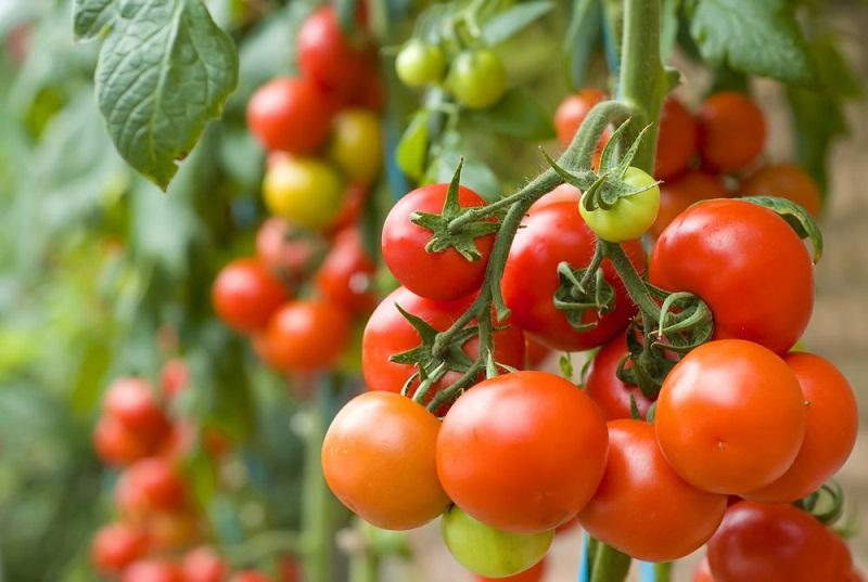 1_chcesz-uprawiac-pomidory-poznaj-podstawowe-zasady
