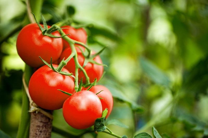 3_chcesz-uprawiac-pomidory-poznaj-podstawowe-zasady