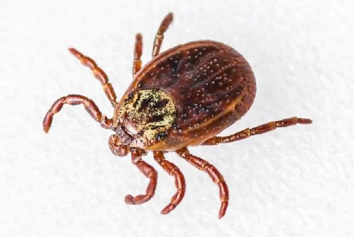 Należące do pajęczaków kleszcze są odpowiedzialne za roznoszenie patogenów, mogących skutkować rozwojem groźnych chorób takich jak chociażby borelioa, KZM (kleszczowe zapalenie mózgu), gorączka Q czy też anaplazmoza.