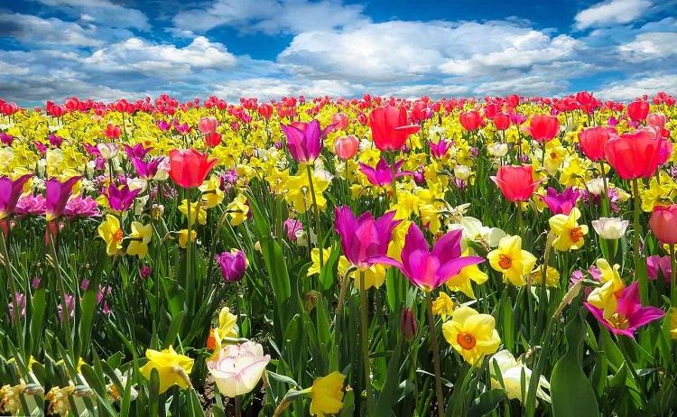 Cebulki tulipanów to najlepszy sposób na dorodne kwiaty w ogrodzie